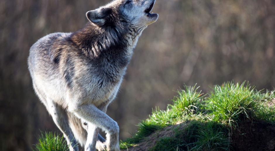Wilki zagryzły owce; leśnicy uspokajają – ludzie są bezpieczni