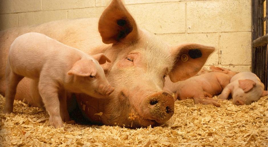 Hodowli świń mamy o jedną czwartą mniej niż w 2015 roku