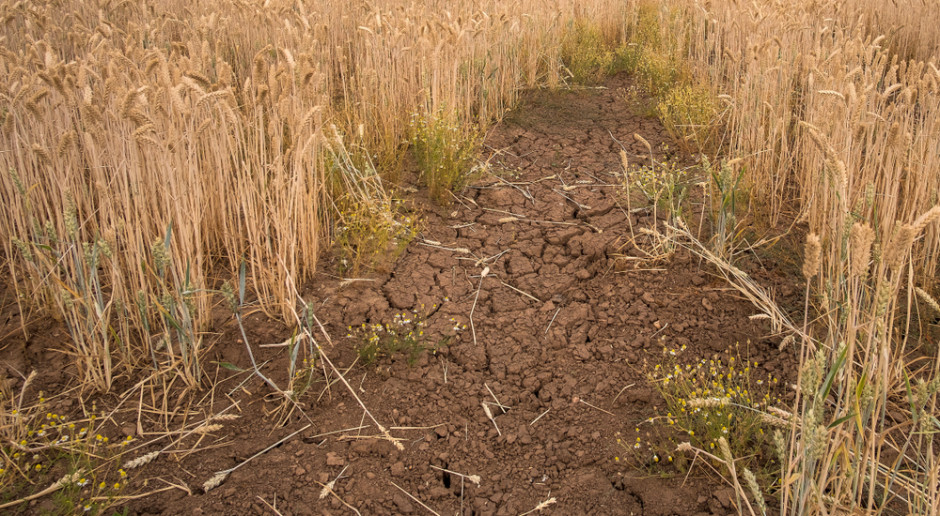 Sipiera: Na Mazowszu 145 tys. ha dotkniętych suszą