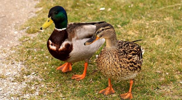 Niemcy: Początek jesiennej ptasiej grypy