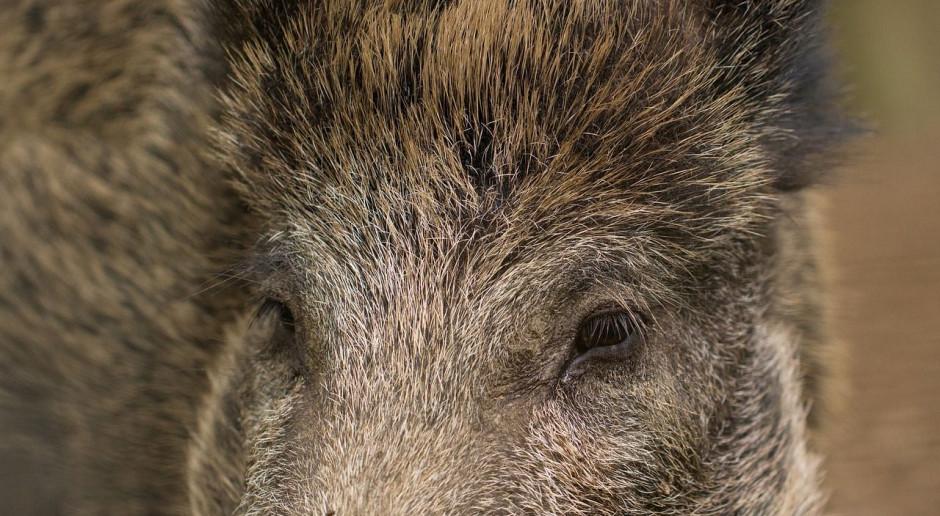 26 nowych przypadków afrykańskiego pomoru świń