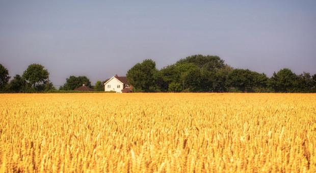 ASF nie zakłócił skupu zbóż
