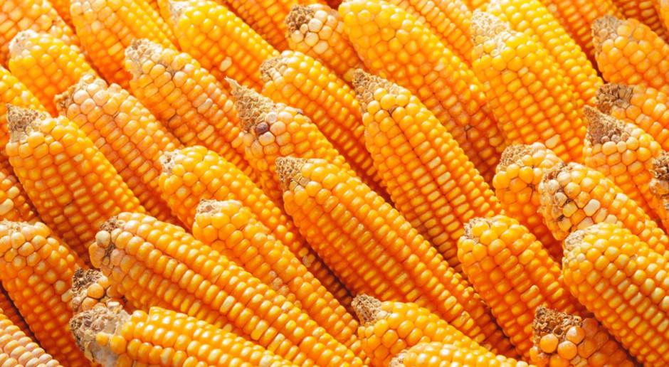 Kukurydza ziarnowa nawet o wilgotności 20 proc. – ceny stabilne