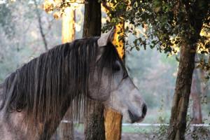 Stadnina Janów Podlaski chce pozbyć się cennych koni