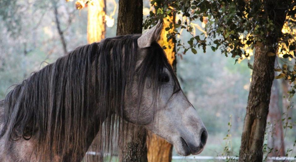 Zakończyła się aukcja i pokaz koni arabskich w Michałowicach