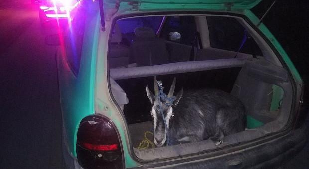 Za kierownicą pijany, a w bagażniku koza