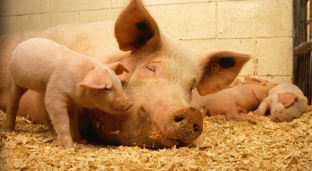 Japonia: Wybuchł klasyczny pomór świń