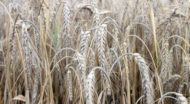 Jakie odmiany pszenżyta ozimego polecane są na sezon 2018/2019?