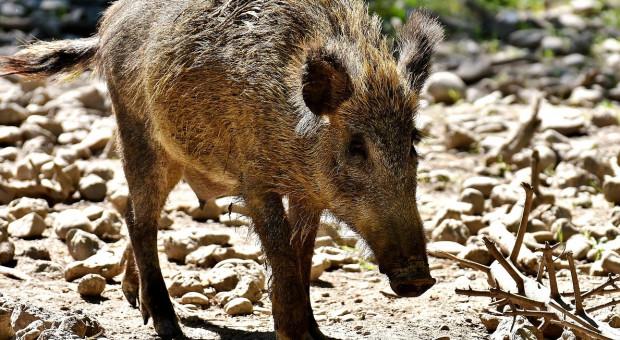 Afrykański pomor świń dotarł do Belgii