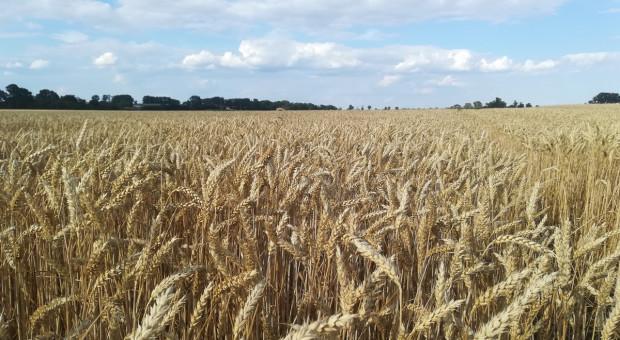Na LOZ  wpisano 34 odmiany pszenicy ozimej