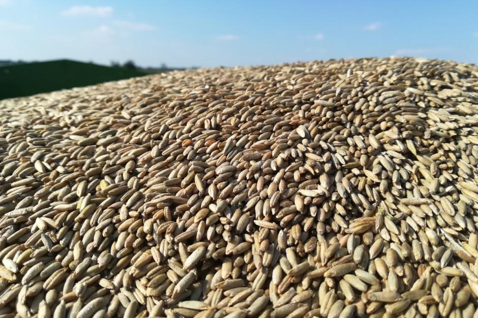Mimo suszy plon żyta był na wysokim poziomie, przewyższającym znacząco pszenżyto ozime, nie wspominając o zbożach jarych