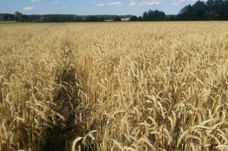 Po zastosowaniu regulatora Medax Max zboże nie wyległo w żadnym fragmencie pola