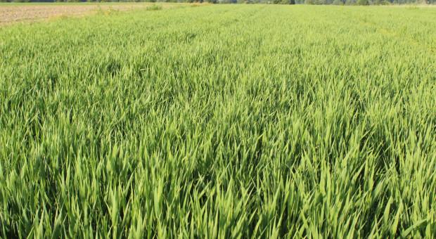 Blog: Jęczmień jary – dotkliwie odczuł brak deszczu