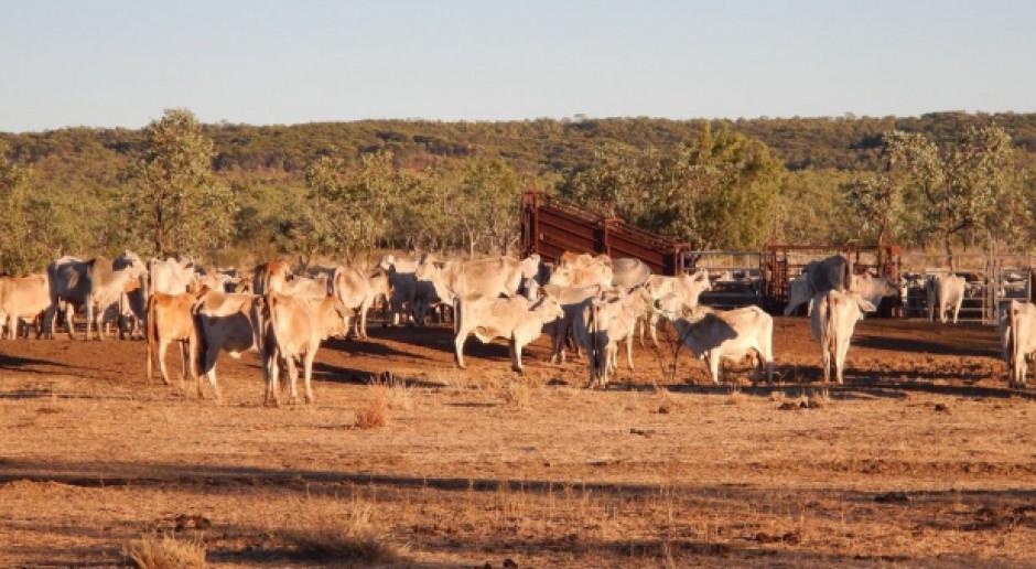 Ubój bydła w Australii nadal rośnie