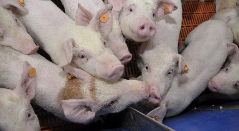 Pogorszenie opłacalności produkcji ma swoje odbicie w pogłowiu świń