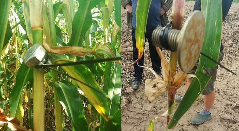 Kto zastawia w kukurydzy pułapki na sieczkarnie?