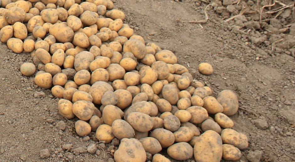 Niższe plony ziemniaka – surowiec poszukiwany