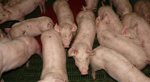 Zarwały się ruszty, a świnie utonęły w gnojowicy