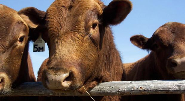 PSL chce pomagać przebranżowić się z hodowli trzody na bydło mięsne