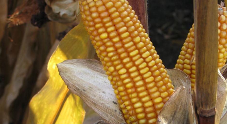 PZPK: Powierzchnia uprawy kukurydzy w 2018 r. to 1191 tys. ha