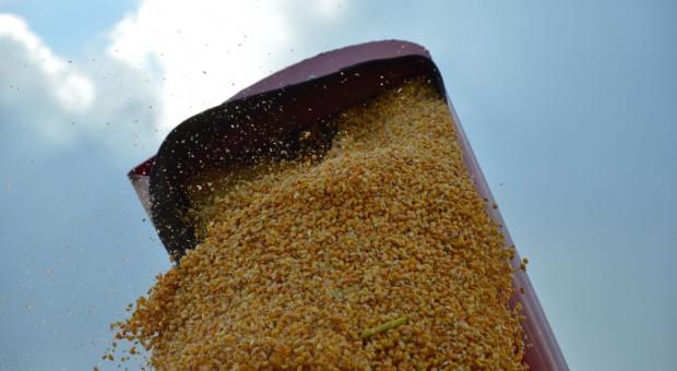 Chcą pobić aktualny rekord zbioru kukurydzy na ziarno