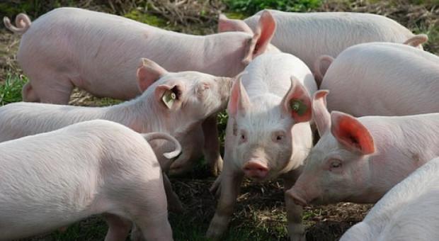 W UE wzrosło pogłowie świń