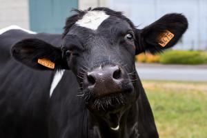 Informacje o zdrowotności i produkcyjności krów można wyczytać z krwi