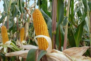Kukurydza mokra po 500-520, sucha po 660-740 zł/t netto