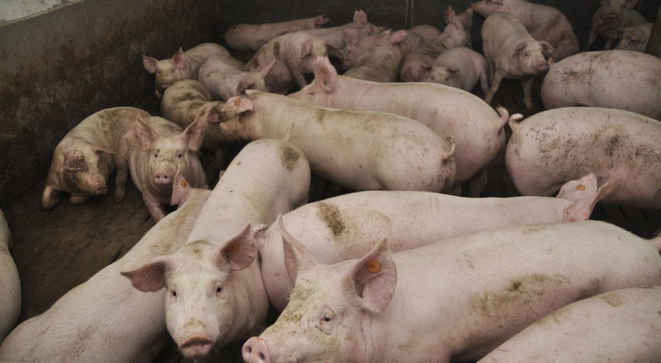 Niemcy obniżają ceny świń. Branża na skraju katastrofy