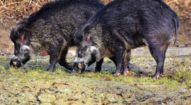 Dziewiętnaście nowych przypadków afrykańskiego pomoru świń