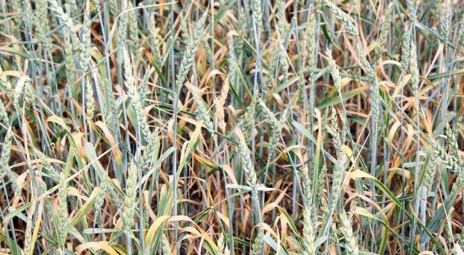 Wyniki plonowania odmian pszenicy jarej w 2018 r.