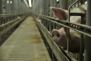 ARiMR jednak wlicza bramy dezynfekcyjne do refundacji bioasekuracji