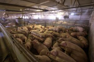 UE: Ceny świń rzeźnych nadal spadają, nacisk ze względu na ASF w Belgii