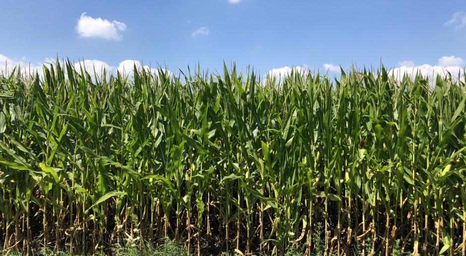 Jak uzyskać wysoką jakość kukurydzy na kiszonkę?