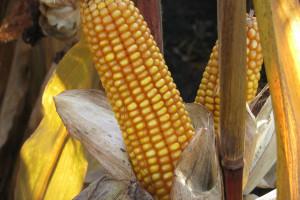 Kukurydza mokra i rzepak tanieją, drożeje jęczmień