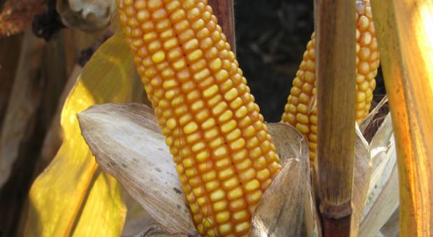 Kukurydza i rzepak tanieją, drożeje jęczmień