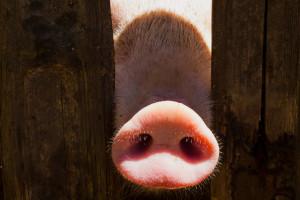 Rynek wieprzowiny: Ceny tuczników minimalnie spadają