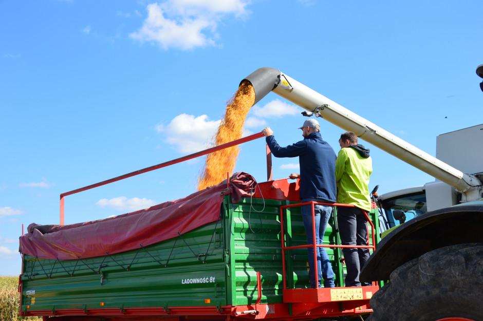 Ziarno kukurydzy miało wilgotność 30,7% fot. Hanna Jarosławska