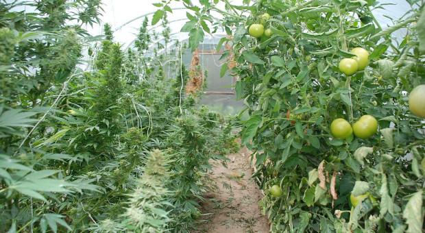 Uprawiali konopie wśród pomidorów
