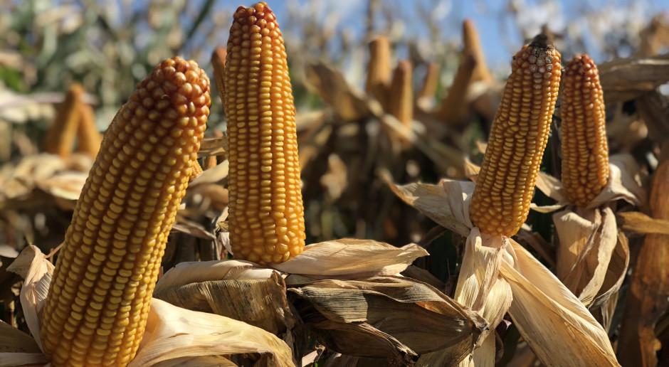 Relacja z bicia rekordu Polski w plonowaniu kukurydzy na ziarno