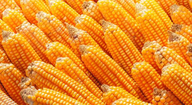 Giełdy krajowe: Czyszczenie magazynów pod kukurydzę