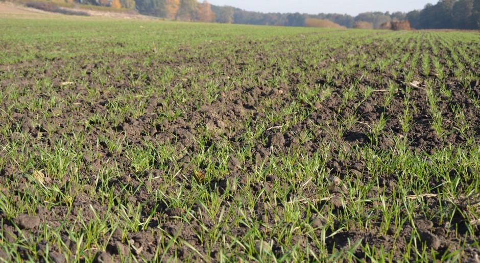Nawożenie nalistne zbóż jesienią