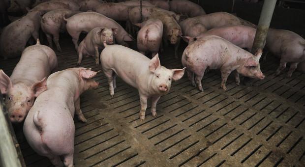 Dla powiatu piotrkowskiego ASF to koniec produkcji świń