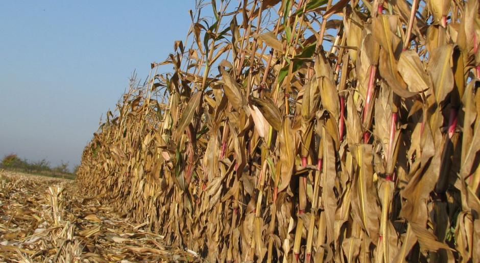 Zbiory kukurydzy – jaka wydajność?