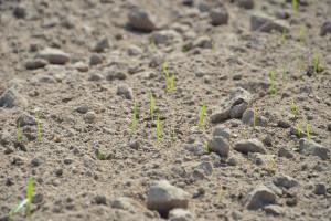 Odmiany pszenicy ozimej na opóźniony siew