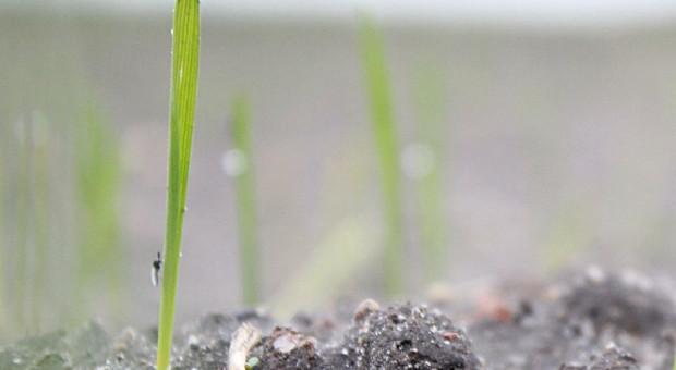 Groźne mszyce w zbożach - zwłaszcza w pobliżu ściernisk, upraw kukurydzy