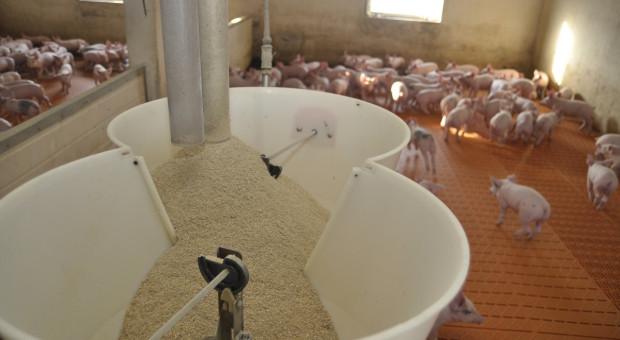 Jak funkcjonować na trudnym rynku produkcji świń?