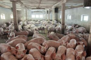 Ambasada USA: Polska i USA są zdeterminowane, by chronić swoje gospodarstwa przed ASF