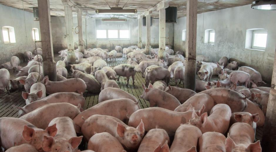"""Będzie """"Program odbudowy gospodarstw rolnych po ASF"""""""