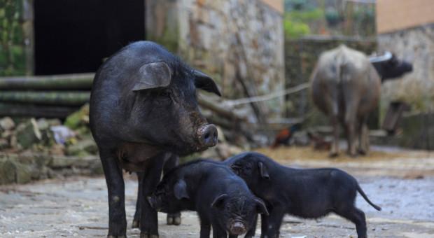 Chiny: wzrost cen wieprzowiny uderza w konsumentów, władze uruchomią rezerwy